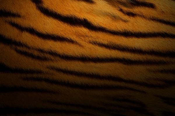 Manchas de tigre