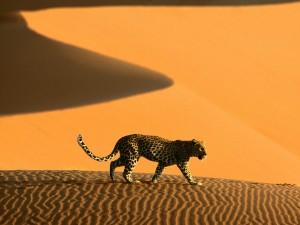 Leopardo en las arenas del desierto