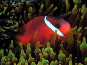 Pez rojo en una anémona