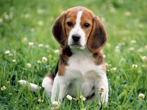 Perro marrón y blanco