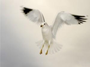 Postal: Gaviota con las alas extendidas