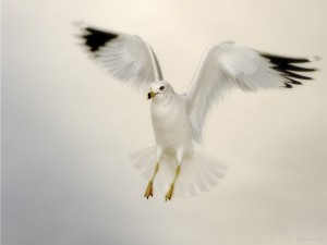 Gaviota con las alas extendidas