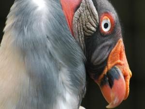 La cabeza de un pavo