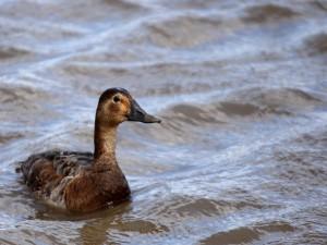 Postal: Pato en el agua