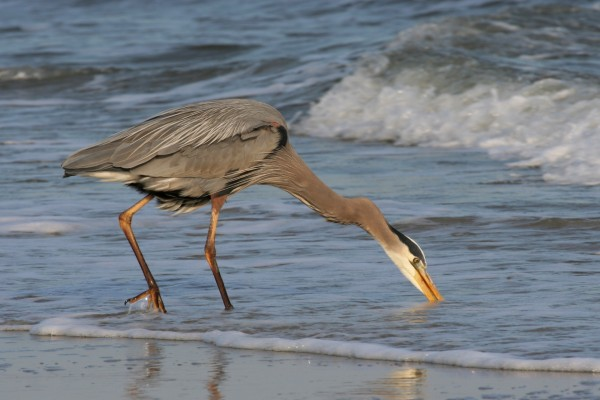 Garza azulada en la playa