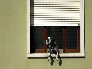 Postal: Dálmata en la ventana