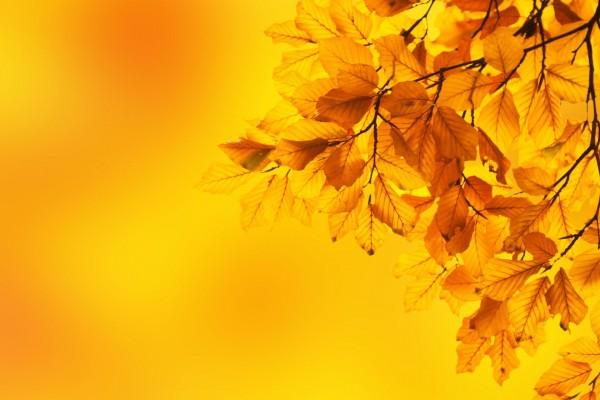 Hojas de haya amarillas