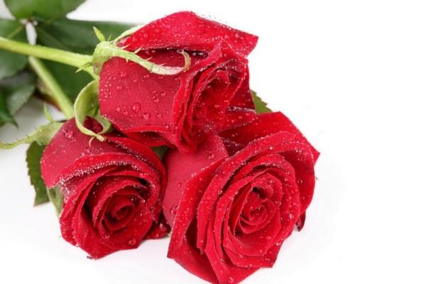 Rosas rojas húmedas