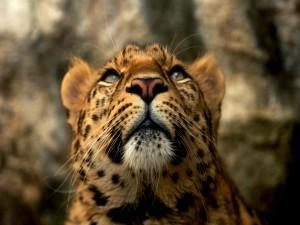 Postal: Leopardo mirando hacia arriba