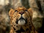 Leopardo mirando hacia arriba