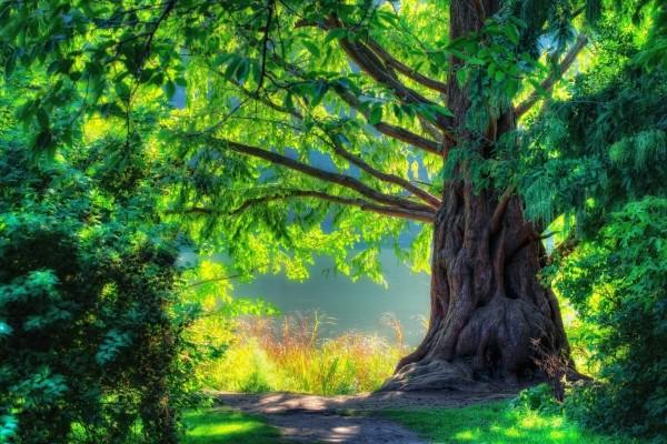 Un gran árbol junto al río