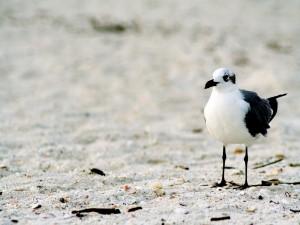Postal: Gaviota blanca y negra en la arena
