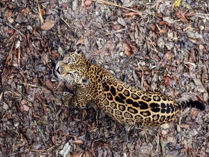 Postal: Jaguar en el suelo