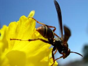 Postal: Avispa en la flor amarilla