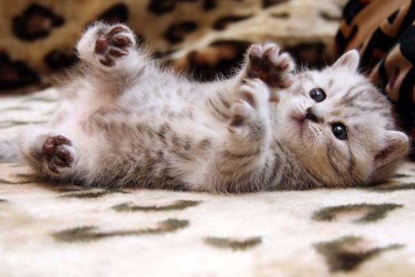 Las cuatro patas del gatito