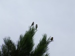 Tres pájaros en el pino