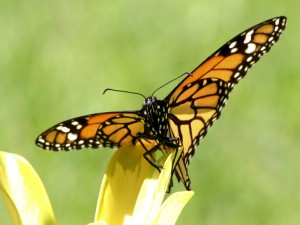 Gran mariposa posada en el pétalo de la flor