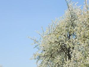 Postal: Árbol con flores blancas