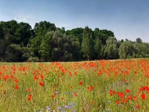 Campo de amapolas rojas
