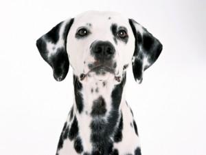 Postal: Perro con manchas negras