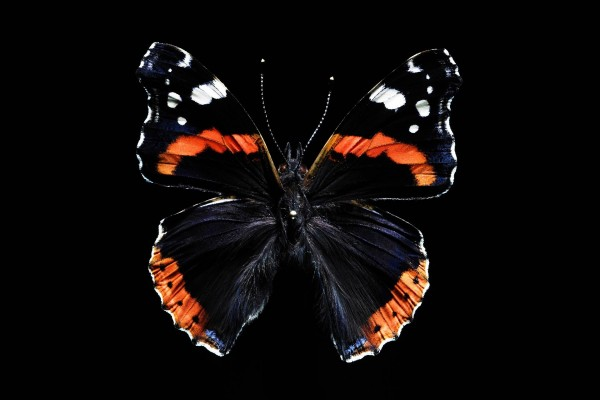 Mariposa en fondo negro