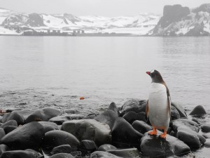 Pingüino mirando al agua