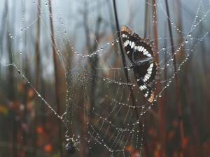 Mariposa atrapada por la araña