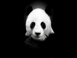 Oso panda en fondo negro