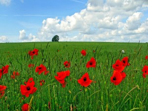 Postal: Amapolas rojas en el campo verde