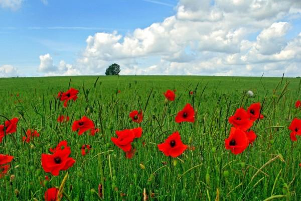 Amapolas rojas en el campo verde