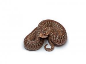 Serpiente en fondo blanco