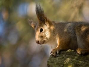 Ardilla con grandes orejas