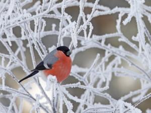 Postal: Pájaro en las ramas heladas