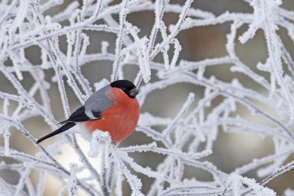 Pájaro en las ramas heladas