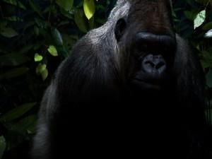 Un gran gorila