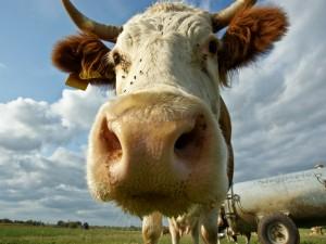 Moscas en la cara de la vaca