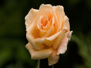 Rosa cubierta por gotas de agua