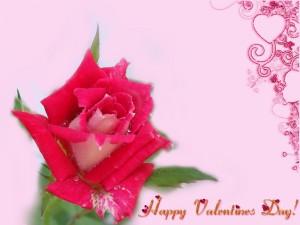 Rosa para celebrar el Día de San Valentín