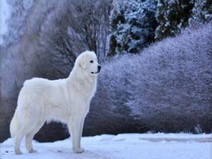 Perro blanco en la nieve