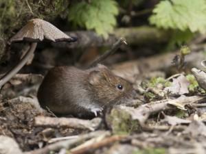 Ratón de campo en su escondite