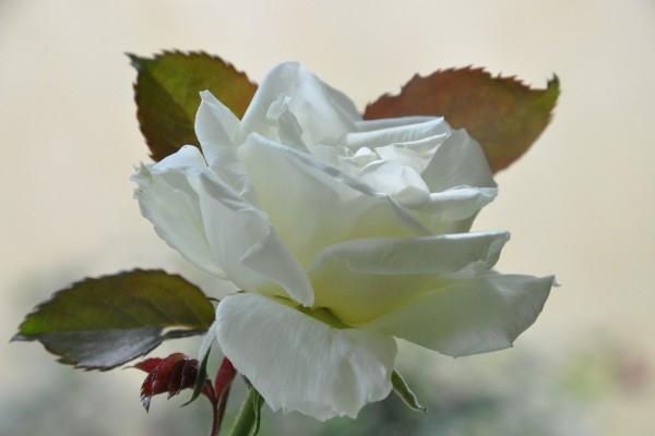Rosa con pétalos blancos
