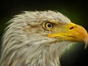 Postal: Cabeza de águila