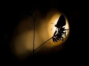 Postal: Silueta de una mariposa