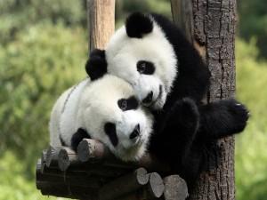 Abrazo panda