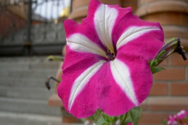 Petunia rosa y blanca