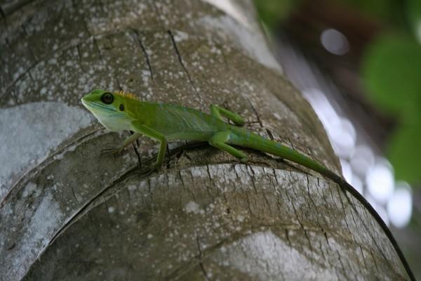 Lagarto verde con cresta