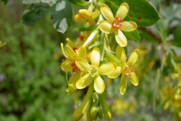 Flores amarillas colgando de la rama