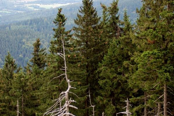 Grandes pinos