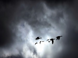 Postal: Gansos en las nubes