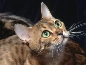 Postal: Gato de ojos verdes